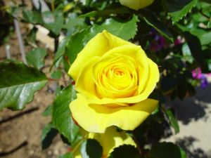 http://www.public-domain-image.com/public-domain-images-pictures-free-stock-photos/flora-plants-public-domain-images-pictures/flowers-public-domain-images-pictures/roses-flower-pictures/yellow-rose.jpg Author Leon Brooks